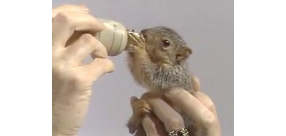 Bob Ross Feeds Baby Squirrel slide