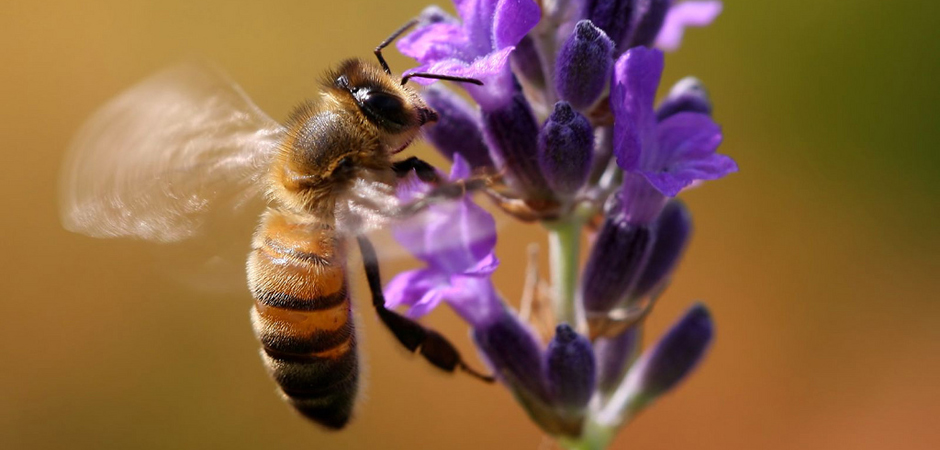 slide_Flying Bee On Lavender by photophilde