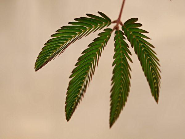 Mimosa Pudica by Roberto Verzo Flickr Creative Commons
