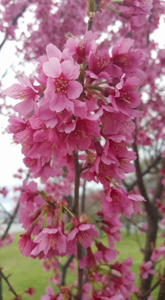 First Lady Blossoms 4