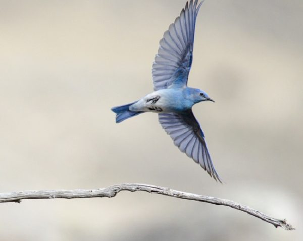 Mountain Bluebird resize