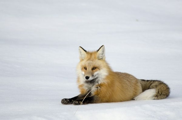Red Fox resize