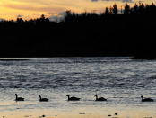Canadian geese water sunset lake