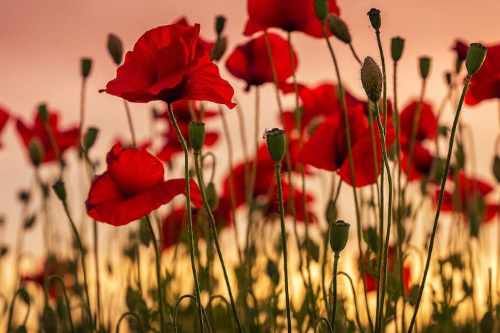 6 Poppy Crafts for Veterans Day